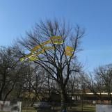 Drzewo Jawności w Milanówku